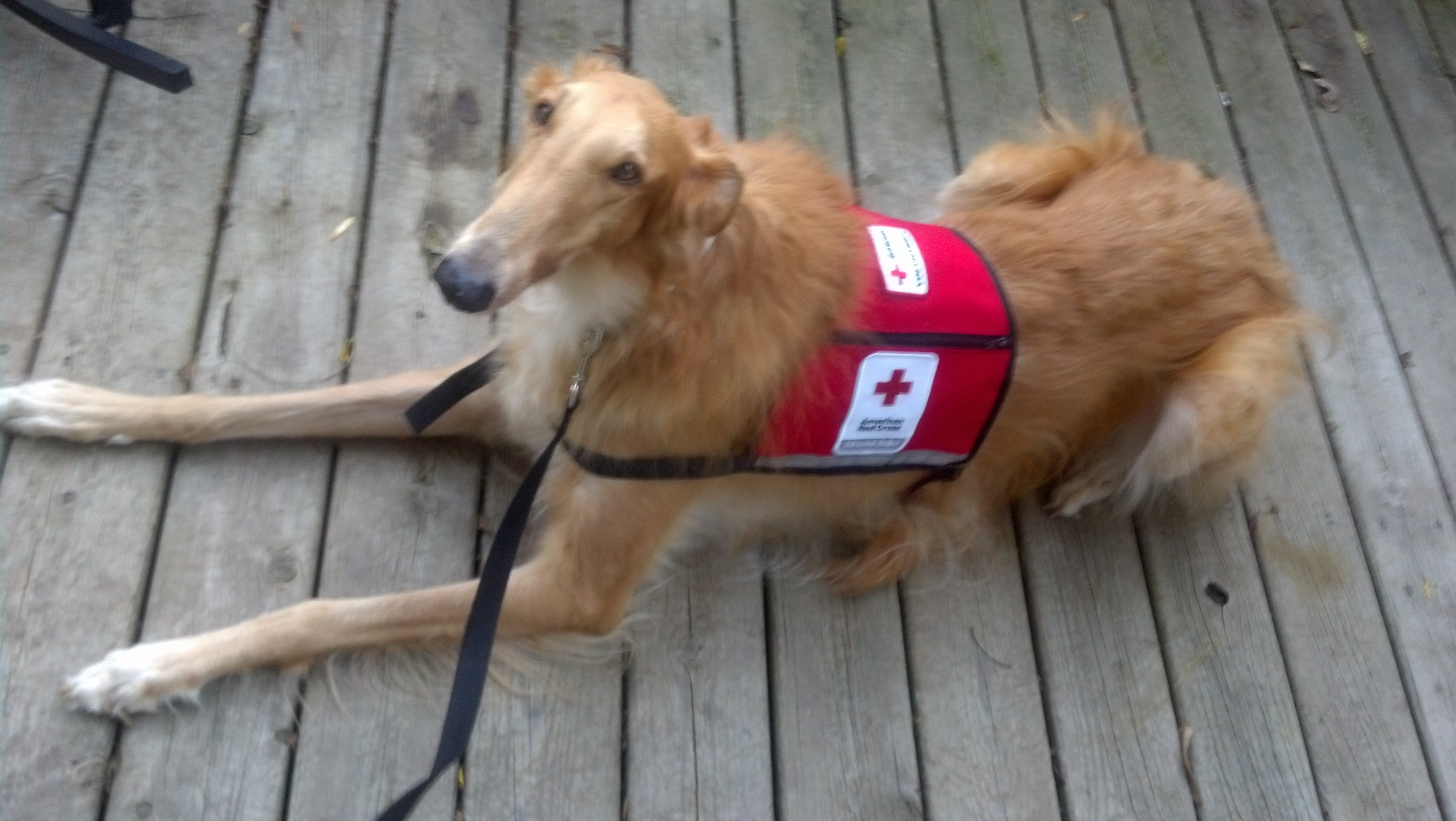 West michigan introduces our furry friend american red cross of fortunately he will be visiting lots of people and events with his new certification xflitez Images