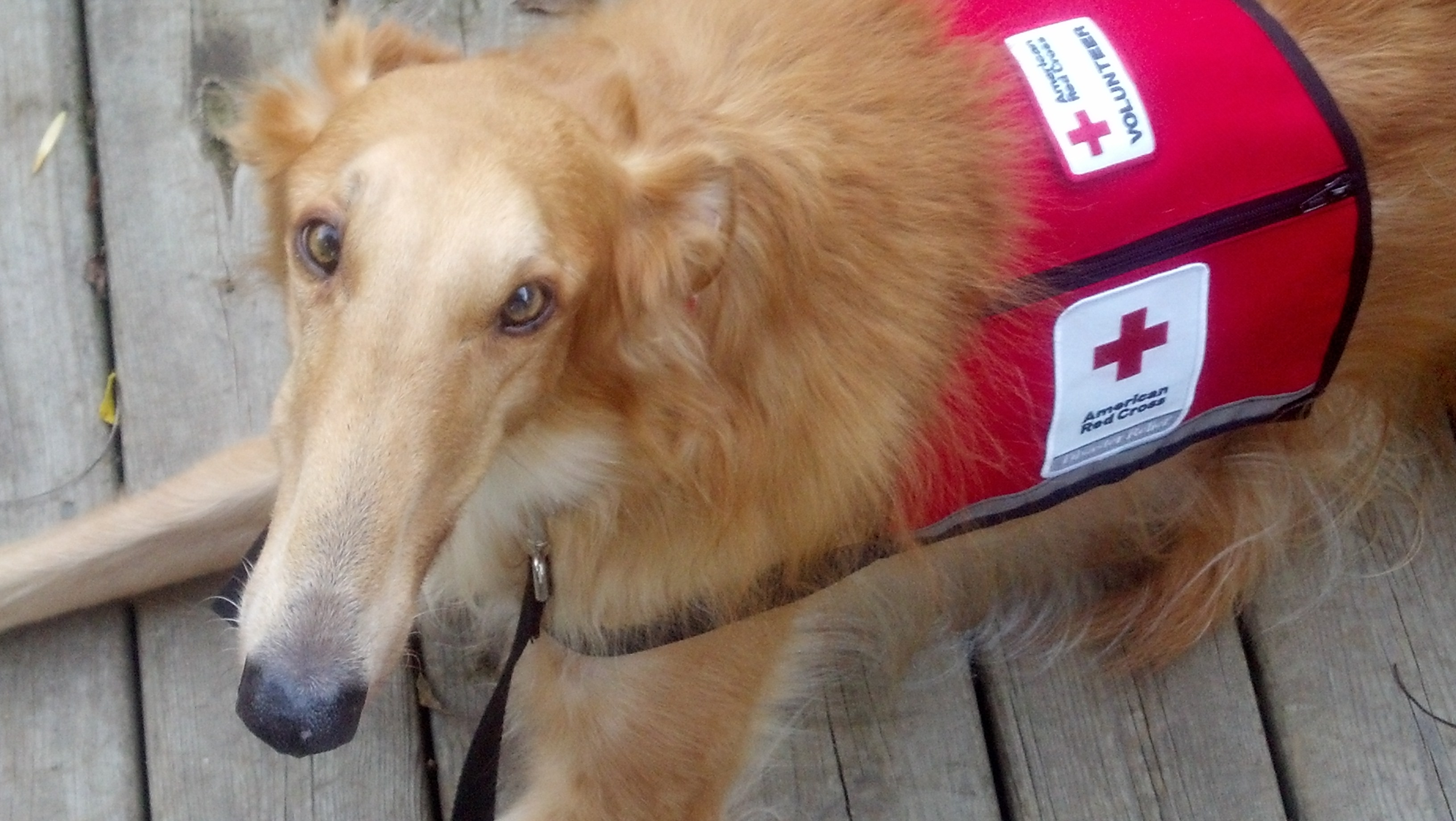 West michigan introduces our furry friend american red cross of merlin2 xflitez Choice Image